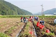 20210619-1-수륜면 양파수확 일손돕기 참석